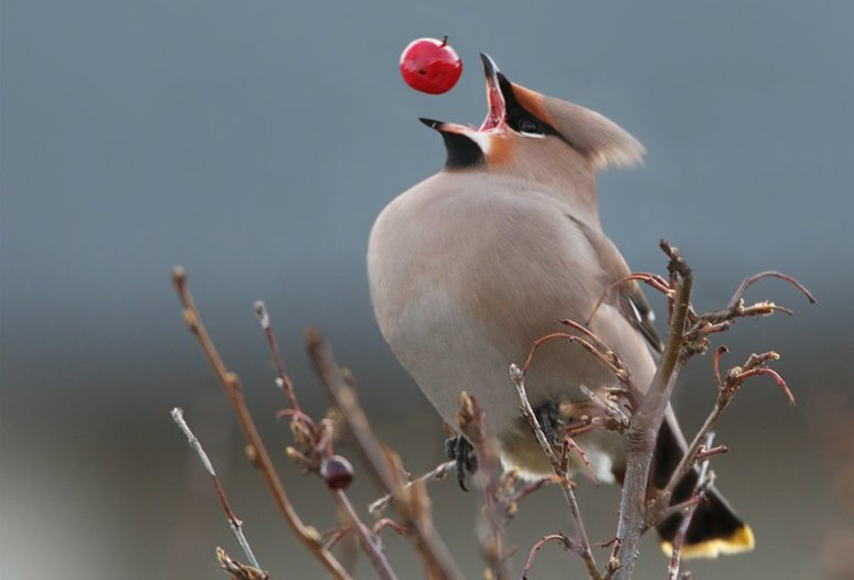 perfect-timing-of-a-bohemian-waxwing-photography-by-sindri-skulason