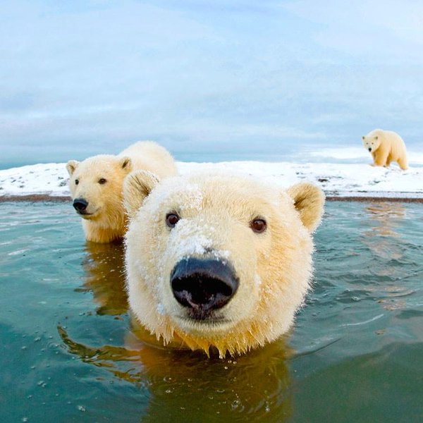 polar-bears-coming-up-to-say-hi-photography-by-steven-kazlowski