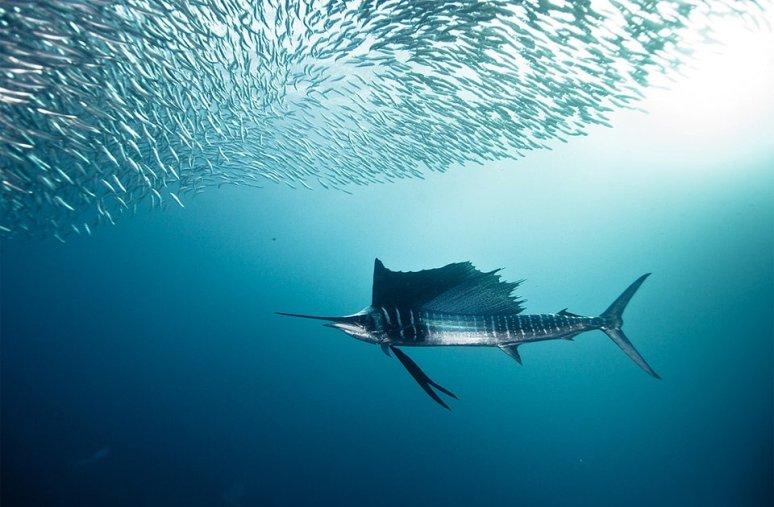 sailfish-and-bait-fish-photography-by-alexander-safonov