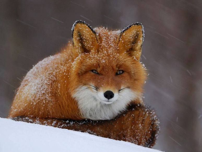 snowy-fox-photography-by-igor-shpilenok