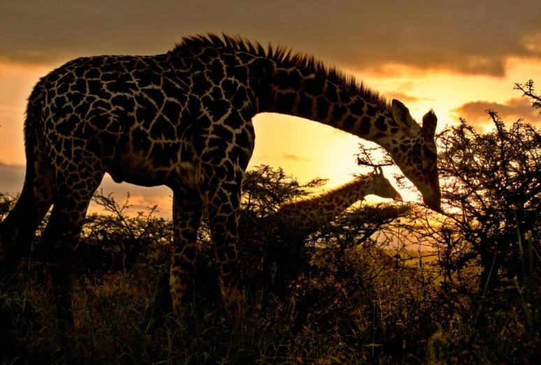 a-giraffe-in-the-nairobi-national-park-at-dusk-photography-by-g-s-matthews