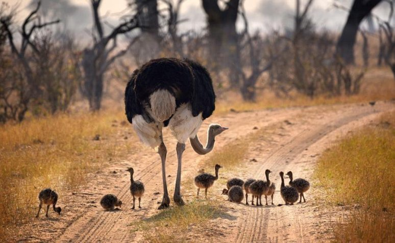 a-mother-and-her-baby-ostriches-photography-by-barbara-arstall