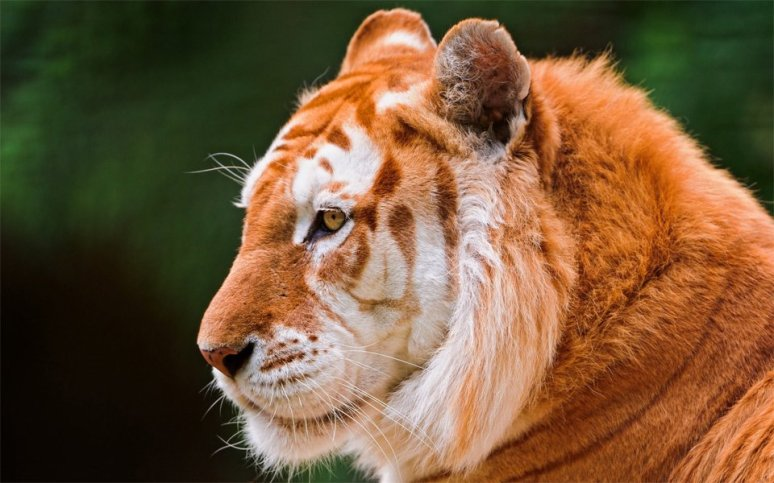 golden-tiger-photography-by-emmanuel-keller