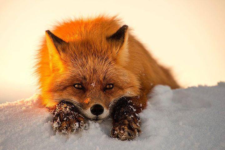 russian-fox-photography-by-igor-vasiliev