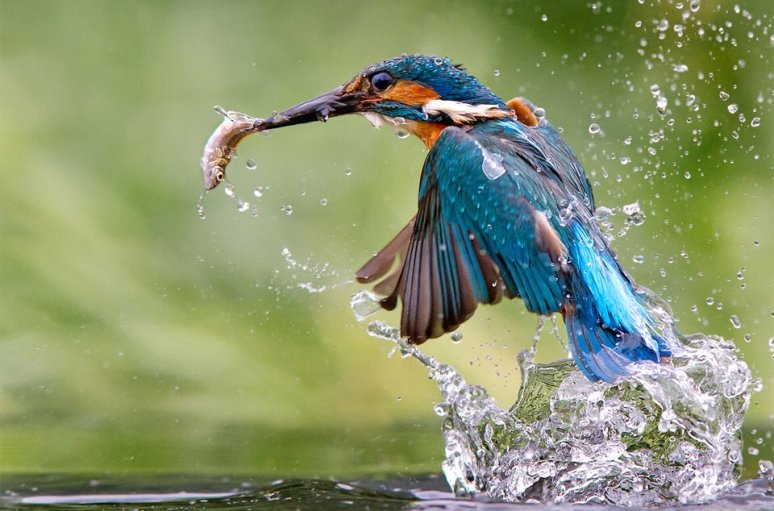 kingfisher-catching-meal-photography-by-jamie-mac-arthur