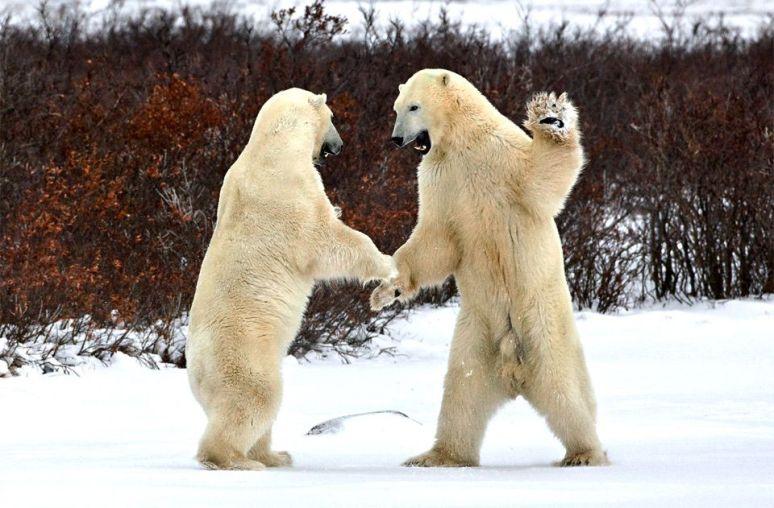 polar-bears-greeting-each-other-photography-by-alexei-suloev